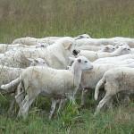 SheepdogCropped