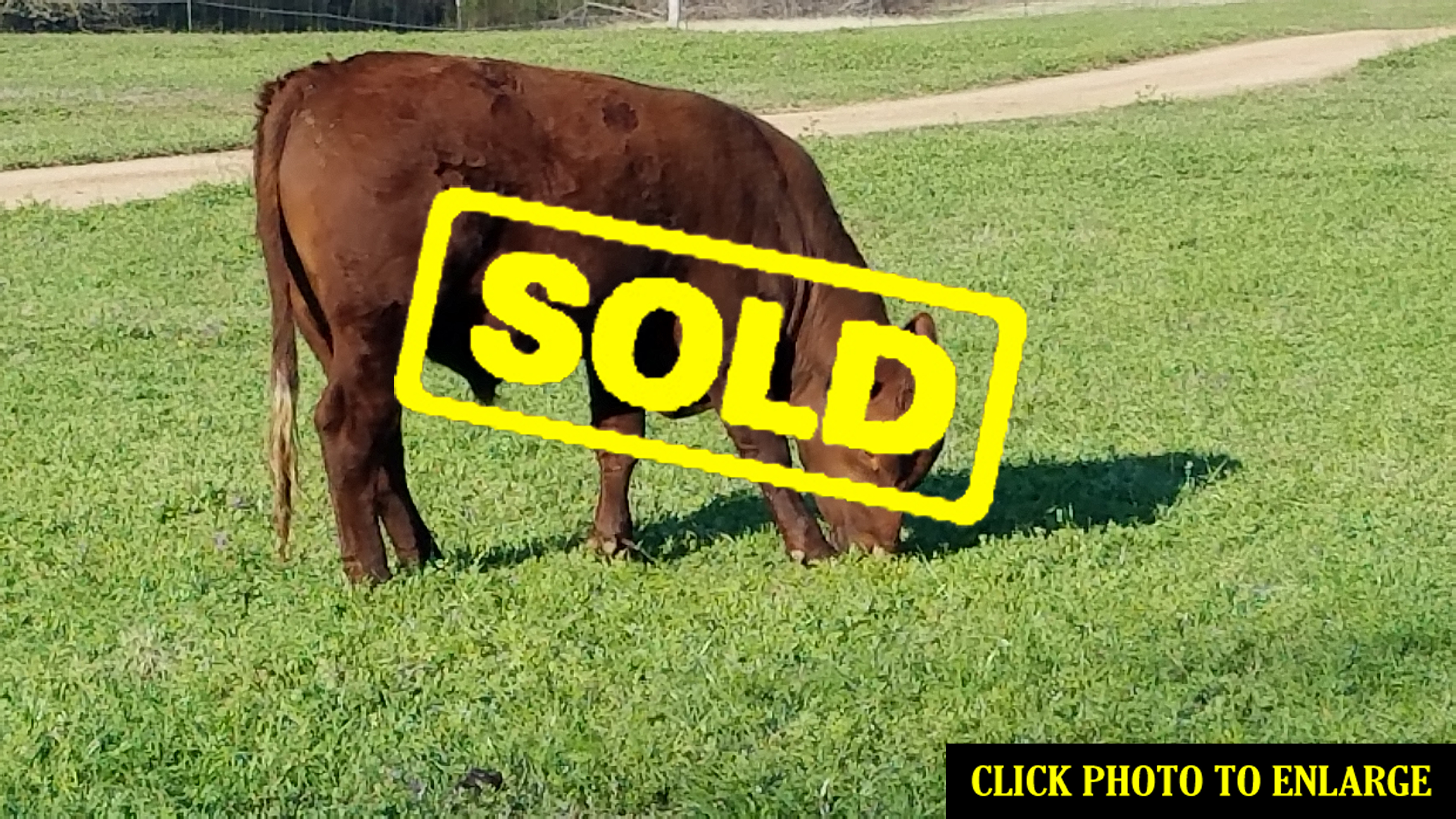 South Pole Steer For Sale